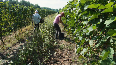 People picking grape during harvest season Live Action