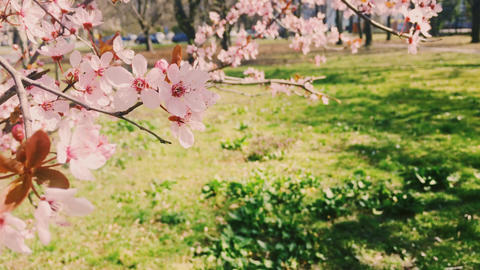 Blooming apple tree in green botanical garden, pink flowers in bloom, nature and Live Action
