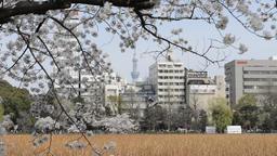 Hanami cherry blossom viewing at Ueno Park, Tokyo, Japan Footage