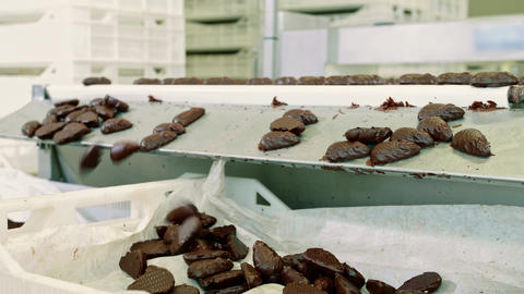 Candy factory. Chocolate candies lying on conveyor Live Action