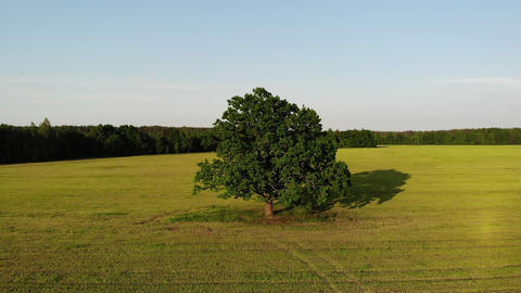 Aerial shot, flight out green oak tree in the country side yellow field on the Live Action