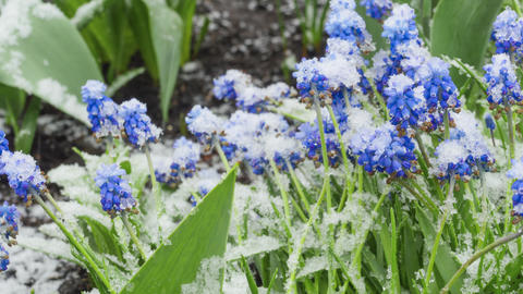 Blue Muscari flowers under the snow Live Action