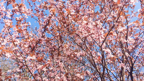 Blooming apple tree and blue sky in springtime, pink flowers in bloom, floral Live Action