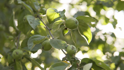 Unripe green apples in the garden of an organic farm, a branch with a future Live Action