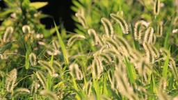 Green Foxtail at Ueno Park, Tokyo, Japan Footage