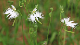 Fringed Orchid flowers at Showa Memorial Park, Tokyo, Japan Footage