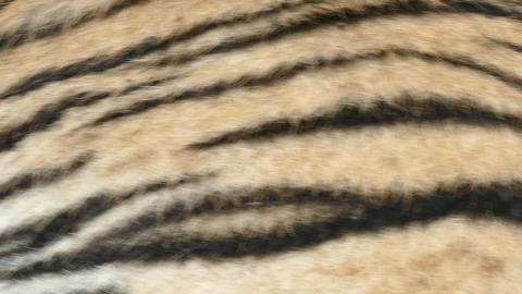 Skin of a Royal Bengal Tiger Footage