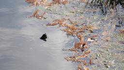 Turtle in a pond, Tokyo, Japan Footage