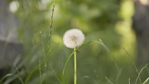 Blossoming dandelion sways in the wind in a meadow in the evening of summer in Live Action