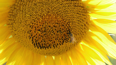 Bees Pollination On Sunflower Live Action