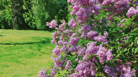 Syringa or lilac vulgaris flowers in botanical garden as nature, holiday and Live Action