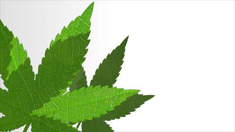 Cannabis leaves 3D animation intro background with copy space. Marijuana hemp plant opener video Videos animados