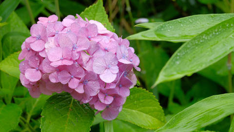 Hydrangeas Wet with Rain, Rainy Day Image Live Action