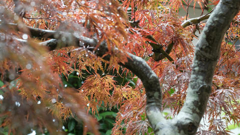 Rain-soaked red maple, autumnal image Live Action