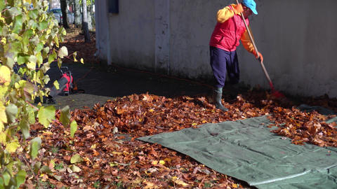 Housekeeper man raking autumn leaves on canvas. Yard guard care environment Live Action