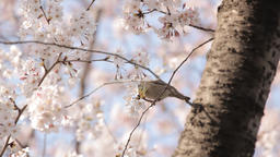 Sparrow pecking cherry blossoms on a tree, Tokyo, Japan Footage