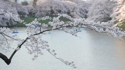 People on rental boats enjoying cherry blossoms at Chidorigafuchi, Tokyo, Japan Footage