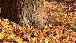 Fallen Autumn leaves near tree trunk Footage