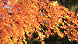 Maple leaves fluttering in the wind Footage
