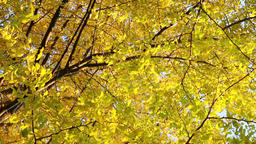Autumn leaves fluttering in the wind Footage