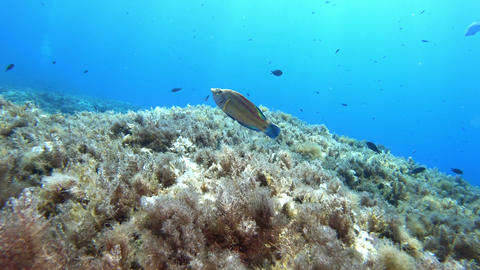 Reef fishes - Underwater scene scuba diving in Majorca Live Action