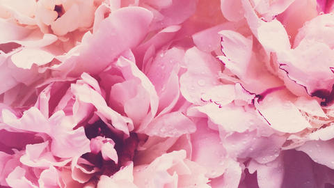 Pink peonies in bloom, pastel peony flowers as holiday, wedding and floral Live Action