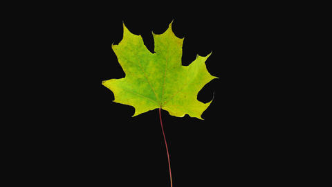 Time-lapse of resurrection yellow Maple leaf, 4K with ALPHA channel Live Action
