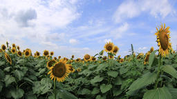 Blue sky with clouds over sunflower field, Tokyo, Japan Footage