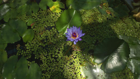 Violet Lotus Indoor Pond Round Leaves Reflection on Ceiling Live Action