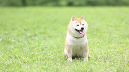 Shiba Inu dog in a city park Footage