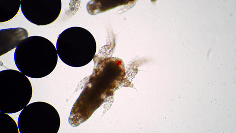 Tiny nauplius of artemia salina are flapping their wings and move under the Live Action