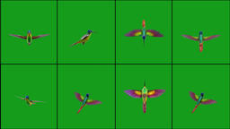 Flying humming bird in different positions with green screen background CG動画