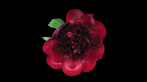 Time-lapse of opening red peony 6 isolated on black top Stock Video Footage