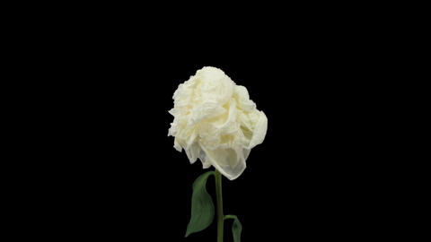Time-lapse of dying white peony 3 with ALPHA matte front Stock Video Footage