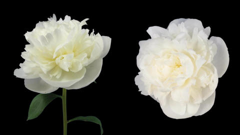 Time-lapse of dying white peony 5d isolated black two... Stock Video Footage