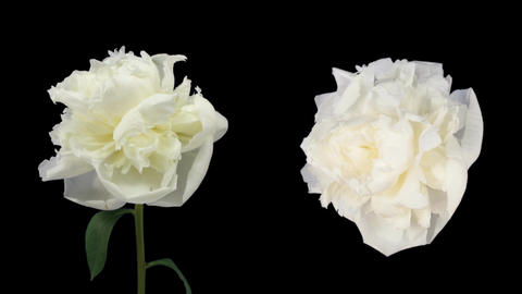 Time-lapse of dying white peony 5d isolated black two cameras Footage