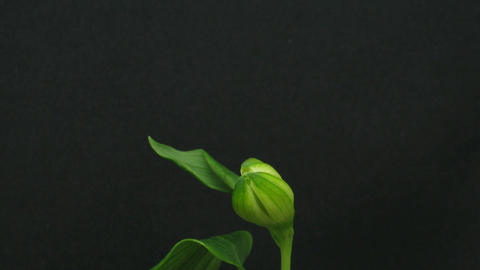 Time-lapse of opening white peruvian lily 1 Stock Video Footage