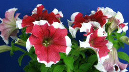 Time-lapse of growing red-white petunia 1 Stock Video Footage