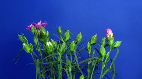 Time-lapse of growing Dianthus (pink) flower bush 1 (Part A) Footage