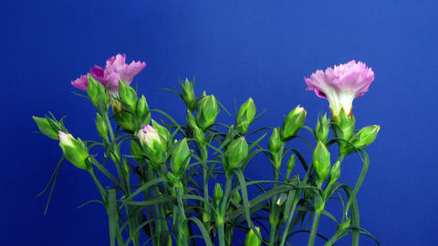 Time-lapse of growing Dianthus (pink) flower bush 1 (Part A) Stock Video Footage