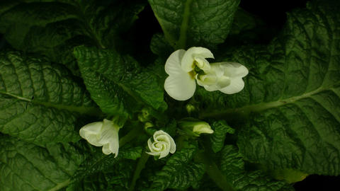 Time-lapse of white primula growing 2 Stock Video Footage
