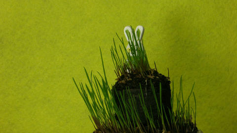 Easter bunny and growing grass time-lapse 1 Footage