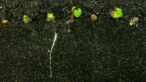 Time lapse of growing radish roots 3a Stock Video Footage