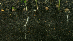 Time lapse of growing radish roots 3a Footage