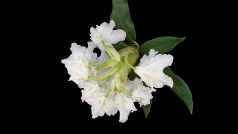 Time-lapse of dying rhododendron 2 isolated on black top Footage