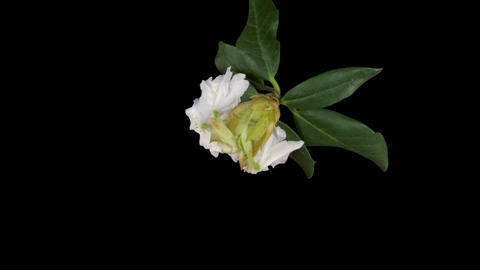 Time-lapse of dying rhododendron 2 isolated on black top Stock Video Footage
