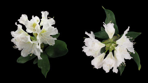 Time-lapse of opening rhododendron 5 isolated black two synchronised cameras Footage