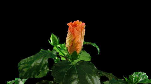 Time-lapse of orange hibiscus flower opening 5 isolated... Stock Video Footage