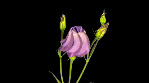 Time-lapse of blooming japanese rose (eustoma) 3 isolated... Stock Video Footage