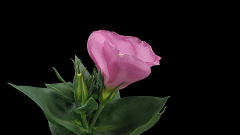 Time-lapse of blooming pink japanese rose 6 isolated on... Stock Video Footage